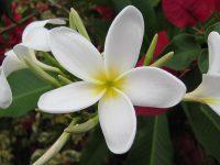 White_Plumeria